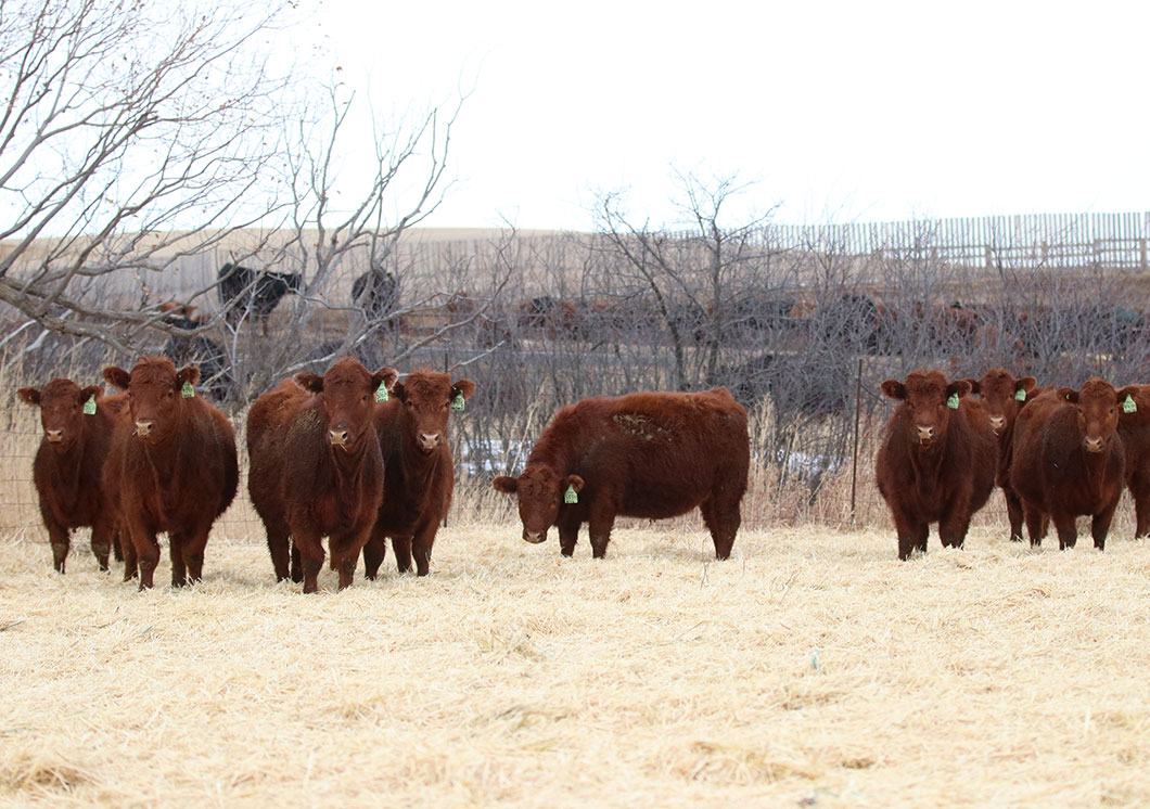 Commercial Open Heifers For Sale